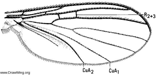 Drepanocercus ensifer, wing