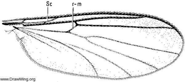 Saigusaia cincta, wing