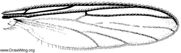 Boletina, wing