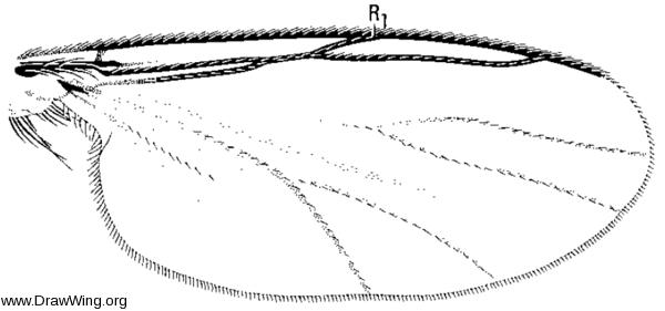 Novakia, wing