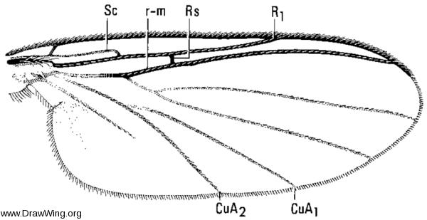 Docosia dichroa, wing