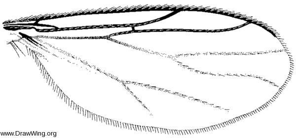 Aphrastomyia, wing
