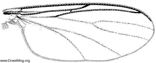 Megolththalmidia occidentalis, wing