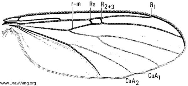 Tetragoneura fallax, wing
