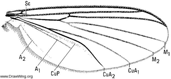 Rymosia triangularis, wing