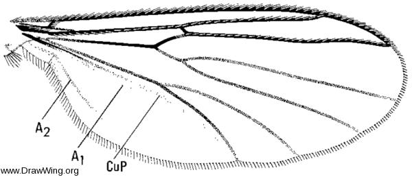 Allodia ornaticollis, wing