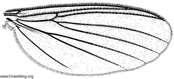 Epicypta scatophora, wing