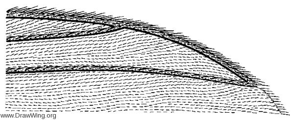 Exechia attrita, wing