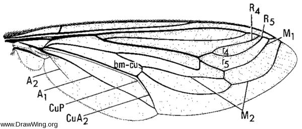 Mitrodetus dentitarsus, wing