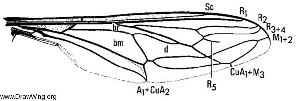 Trichopsidea clausa, wing