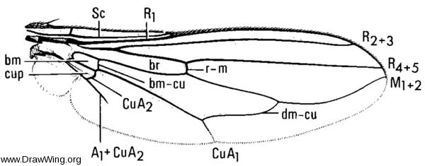 Odontoloxozus longicornis, wing