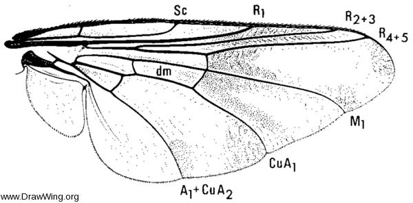 Gasterophilus intestinalis, wing