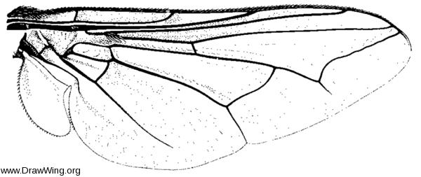 Cephenemyia trompe, wing