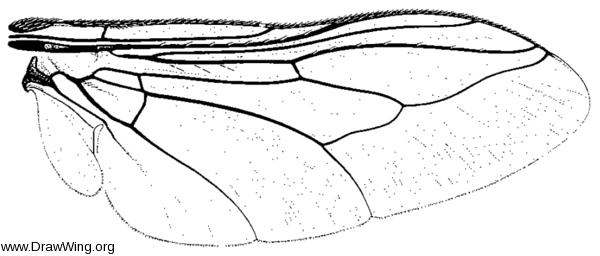Hypoderma bovis, wing