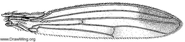 Geomyza apicalis, wing