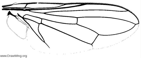 Physiphora aenea, wing
