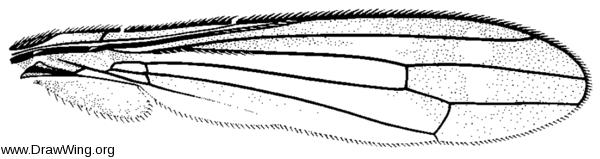 Myiomyrmica fenestrata, wing