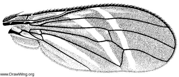 Tritoxa flexa, wing