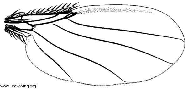 Cremersia spinicosta, wing