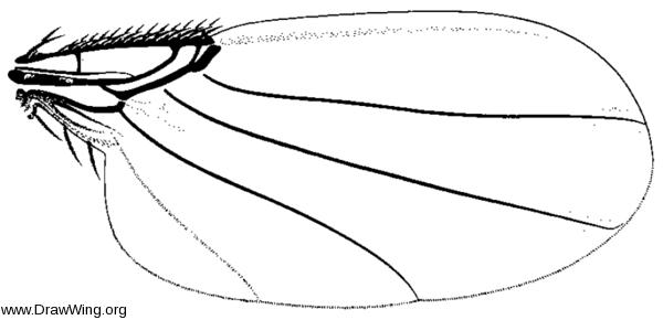 Myrmosicarius texanus, wing