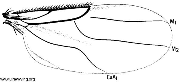 Metopina subarcuata, wing