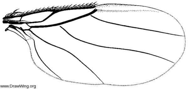 Acontistoptera melanderi,wing