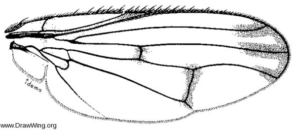 Neottiophilum praeustum, wing