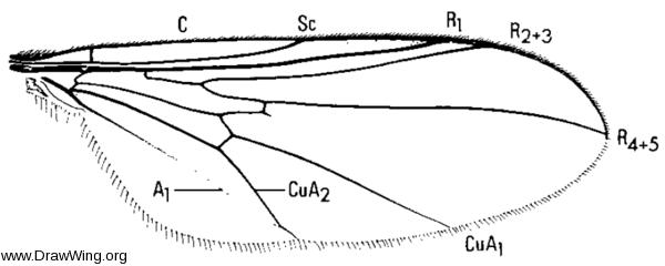 Chalarus spurius, wing