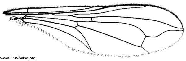 Dorylomorpha exilis, wing