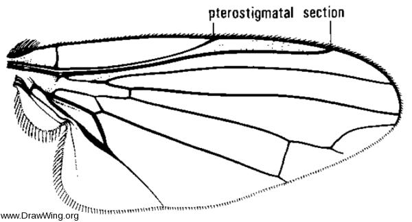 Grossovena carbonaria, wing