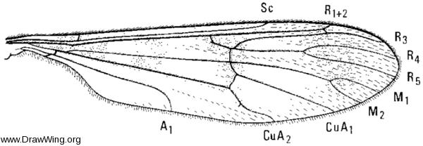 Ptychoptera quadrifasciata, wing