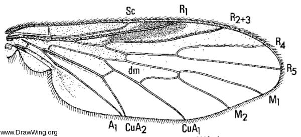 Bolbomyia macgillisi, wing