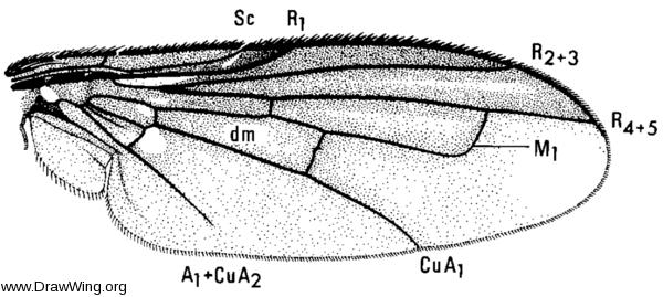 Melanophora roralis, wing