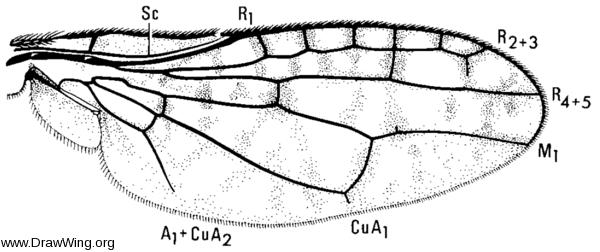 Neorhinotora diversa, wing