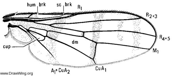 Automola rufa, wing