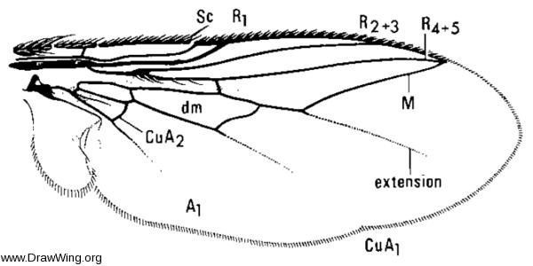 Taxigramma heteroneura, wing