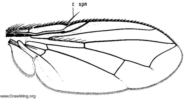 Microcerella hypopygialis, wing