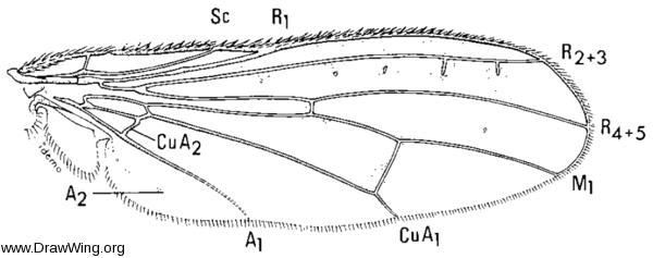 Ernoneura argus, wing
