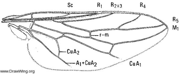 Scenopinus fenestralis, wing