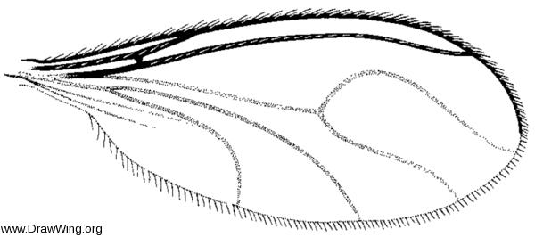 Zygoneura, wing