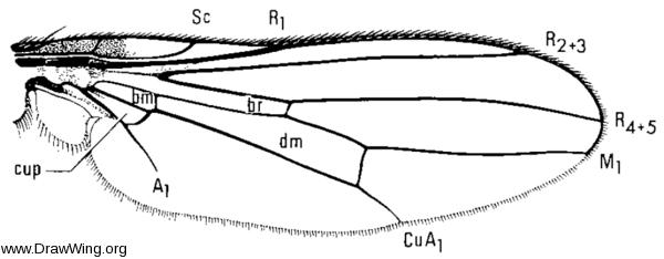 Decachaetophora aeneipes, wing