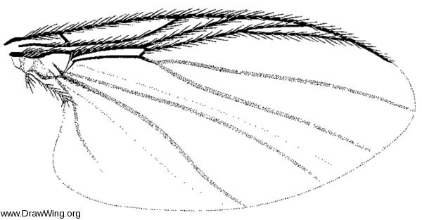 Parasimulium (Astoneomyia) melanderi, wing
