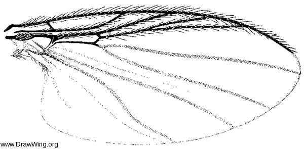 Parasimulium stonei, wing