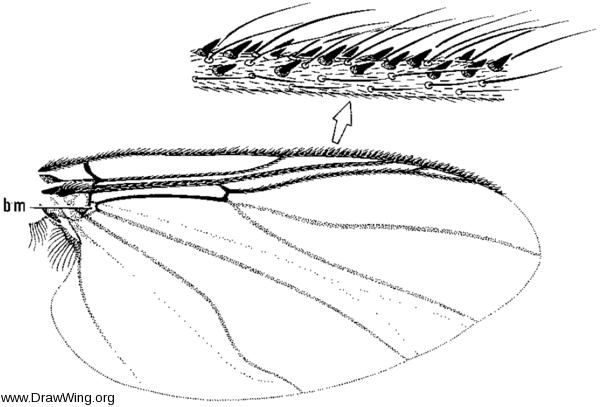 Mayacnephia, wing