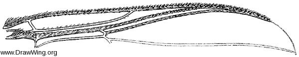 Metacnephia saileri, wing part
