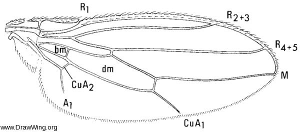 Sphaerocera curvipes, wing