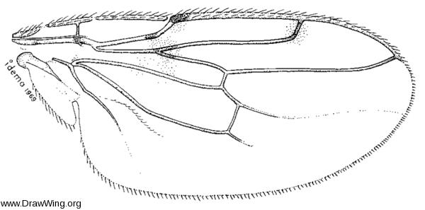 Poecilosomella angulata, wing