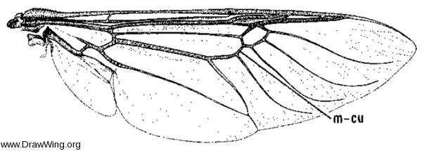 Hedriodiscus binotatus, wing