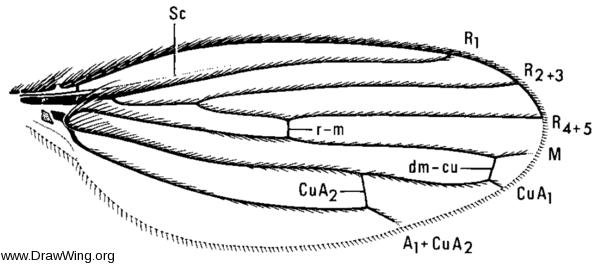 Trichobius major, wing