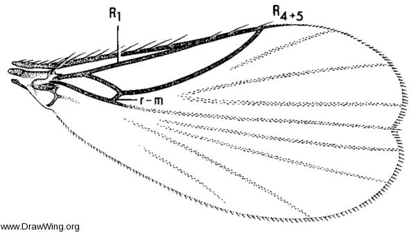 Nycterophilia coxata, wing
